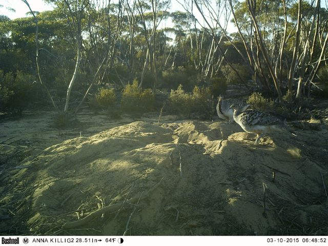 malleefowl pair