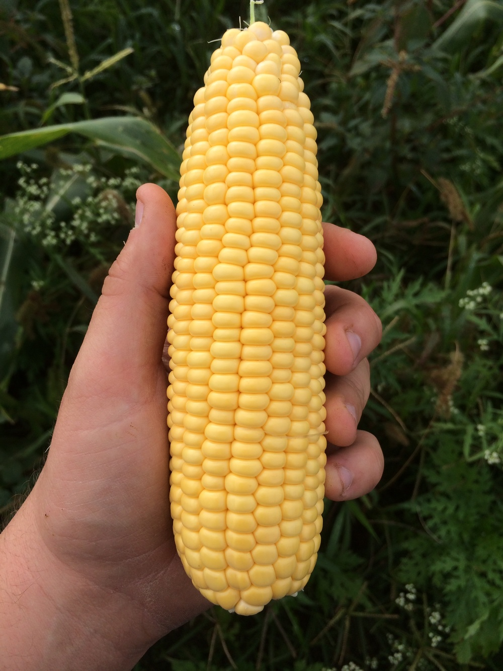 An example of our yellow sweet corn