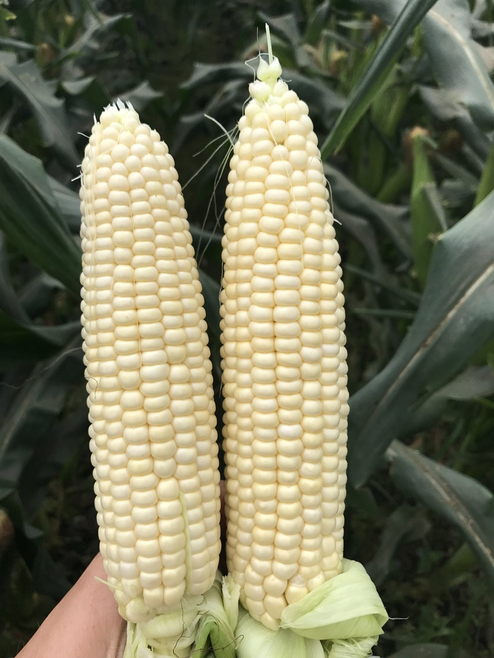 Two Florida Fresh Winter White Sweet Corn
