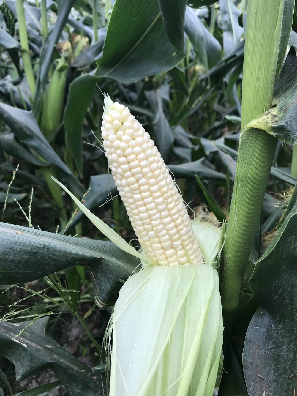 Florida Fresh Winter White Sweet Corn on stalk