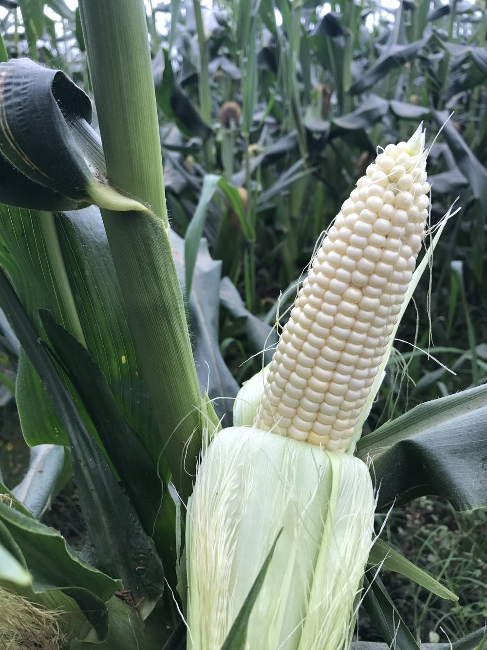 Fresh Florida White Winter Sweet Corn
