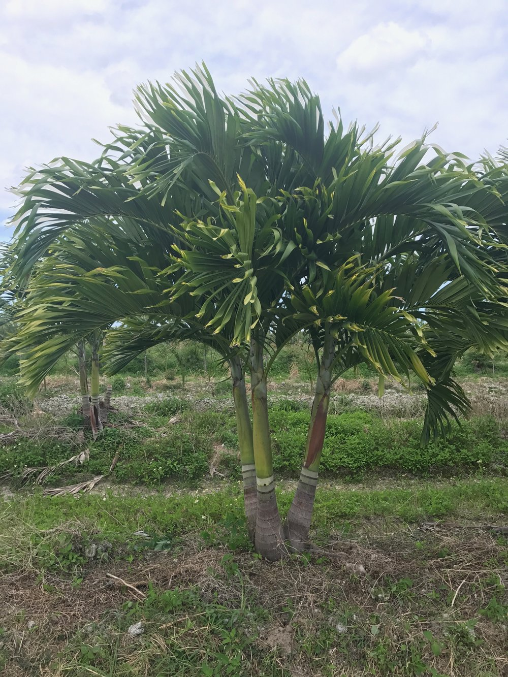 Adonidia Triple palm - Field grown in Homestead, Florida