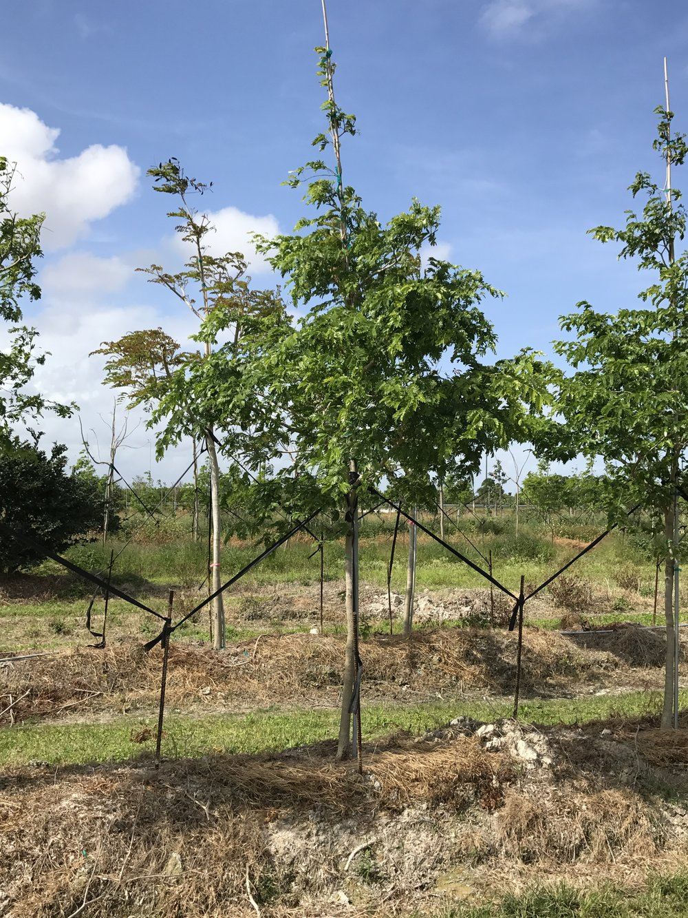 Bulnesia Tree - Field grown in Homestead, Florida