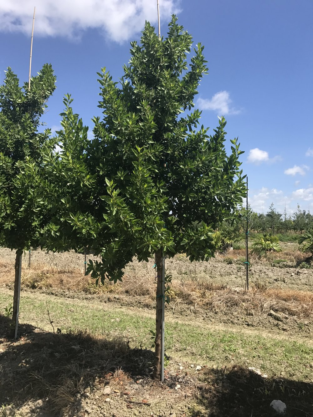 Green Buttonwood Tree - Field Grown
