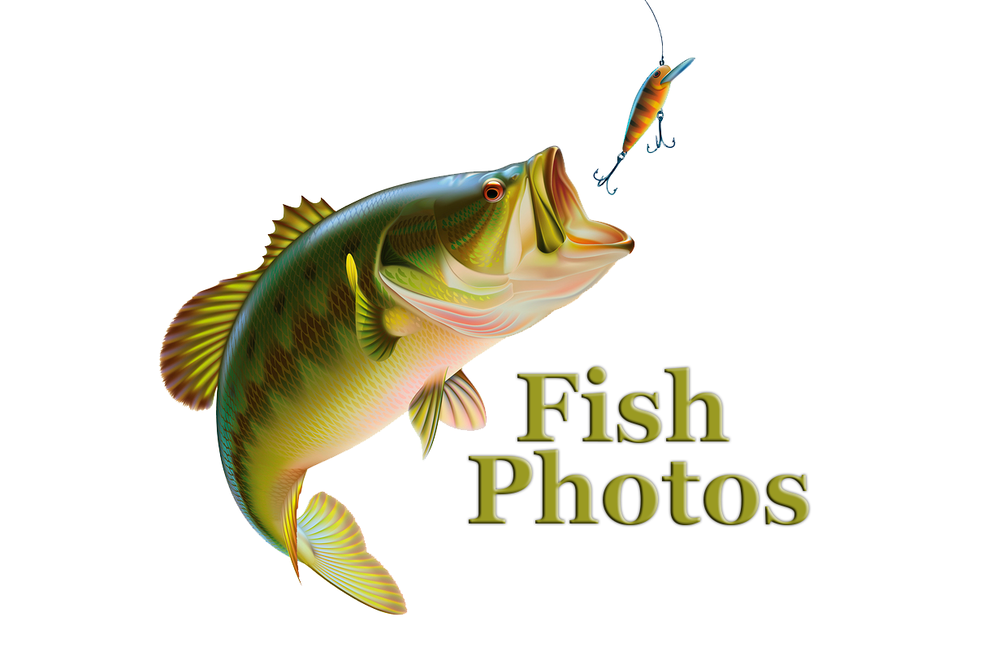 Largemouth Bass Stock Photos Royalty Free Business Images