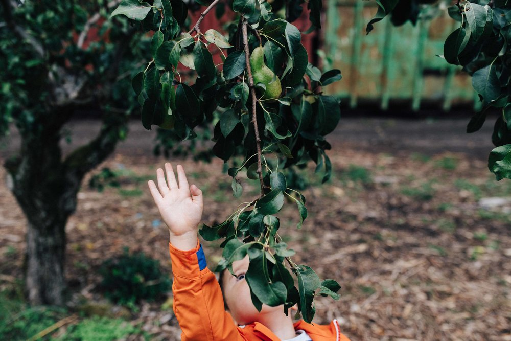 Young child pulling his hand to reach out a fruit in a tree in a farm in Kent