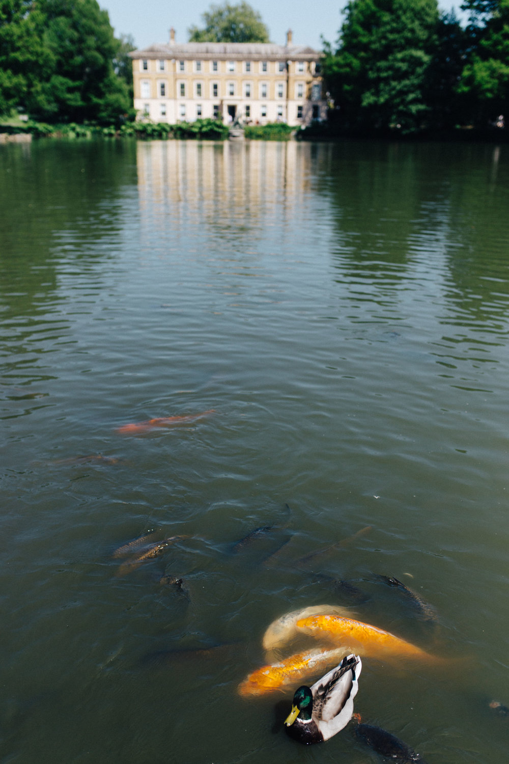 There's something quite hypnotic about watching koi carps eating food and battling against ducks… -
