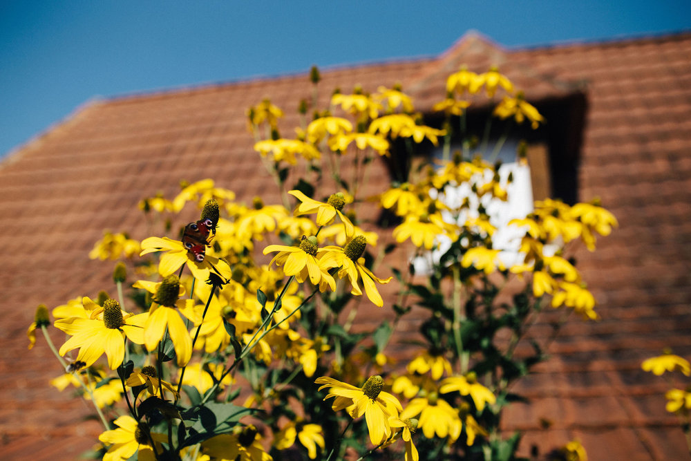 Yellow flowers with butterfly with French roof in the background