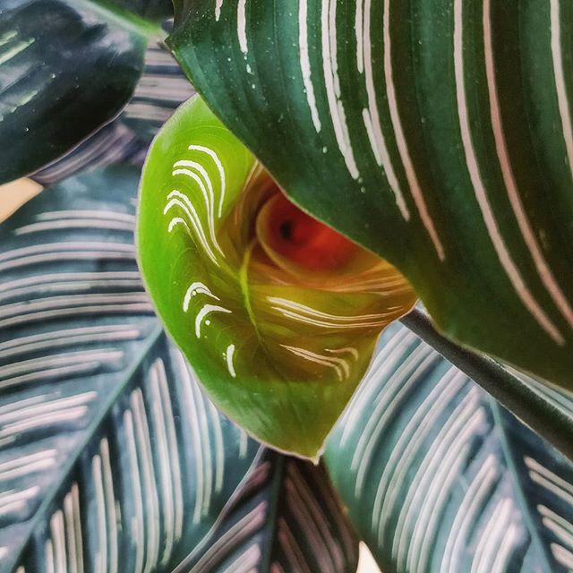 New plant, meet Julia 😍😍😍 #houseplantclub #patchplants #houseplants #houseplantsofinstagram  #pinstripecalathea