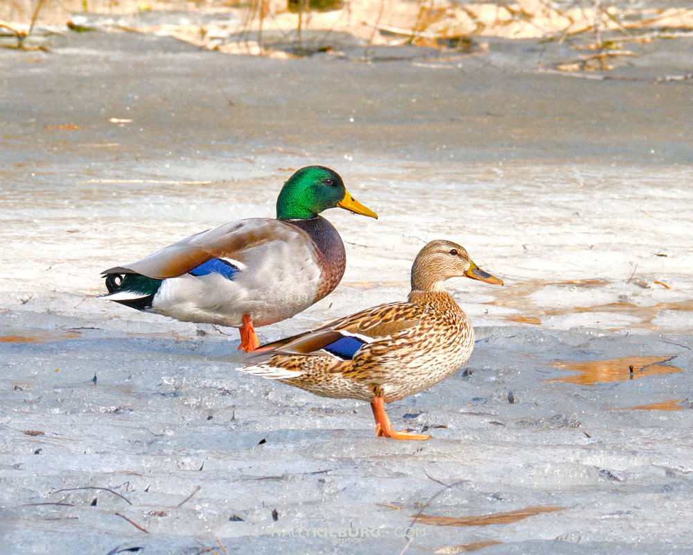 Ducks on frozen pond-96.jpg