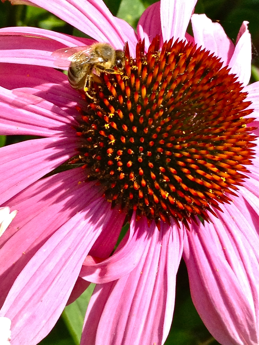 Bee on Echinacea purpurea