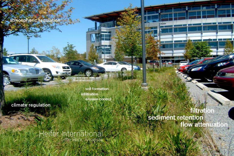 Bioswale in the parking lot of Heifer International Headquarters featuring native grasses and perennials.