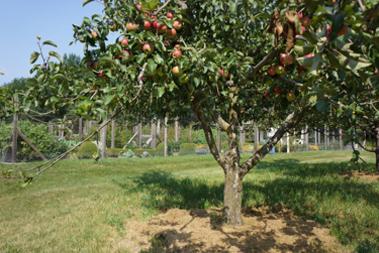 Arborsmith_AppleTree.jpg