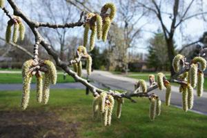 Silver Poplar Flowers