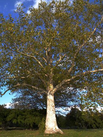 Sycamore_TreeOfTheMonth.jpg