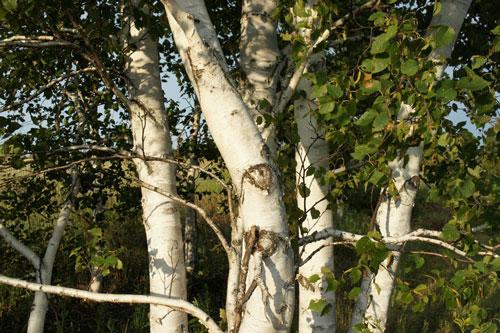 Arborsmith_Summer_Birch_TreesW.jpg