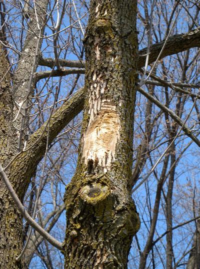 TreeRiddledWithBorersW.jpg