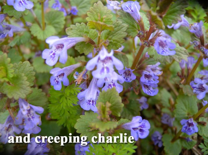 CreepingCharlie.jpg