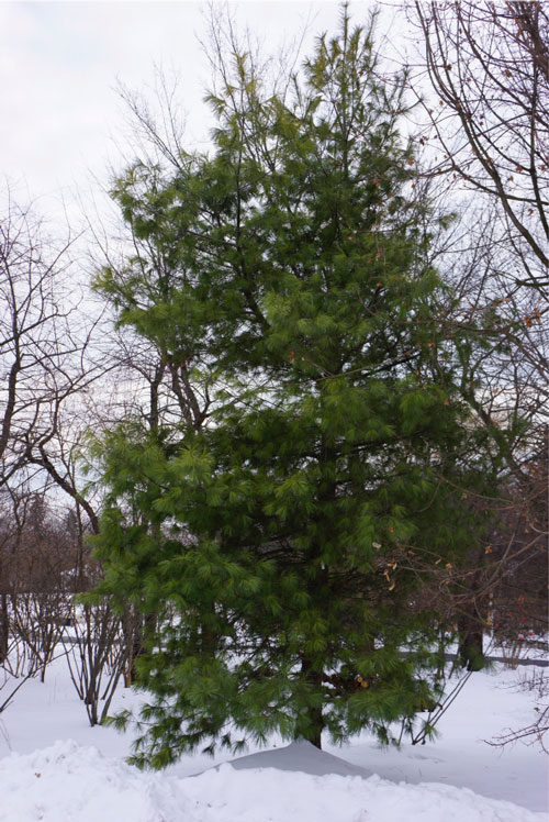 TreeOfTheMonthW.jpg