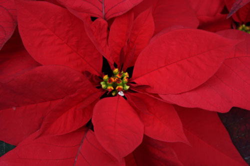PoinsettiaW.jpg