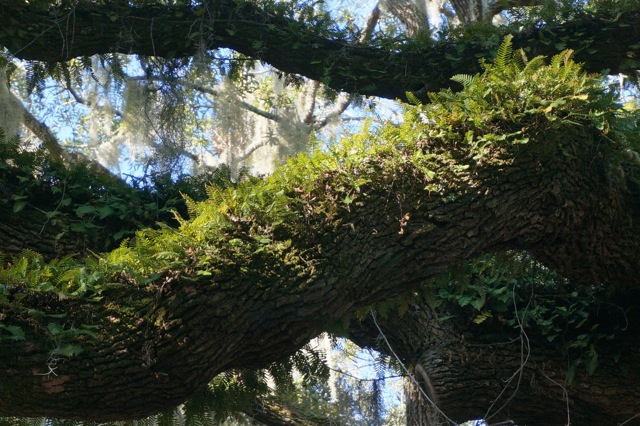 Reserrection Fern and Spanish Moss on the branches of a Live Oak.  photo: Lesley Bruce Smith ©2014