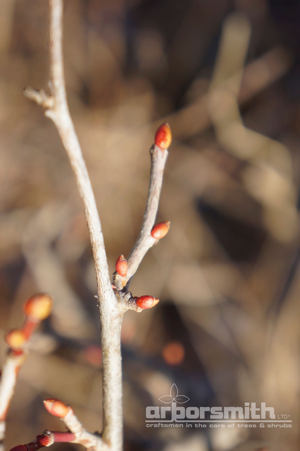 Linden tree buds in the winter, live and well