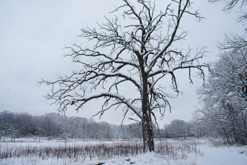 Burr Oak tree, king of the prairie, winter