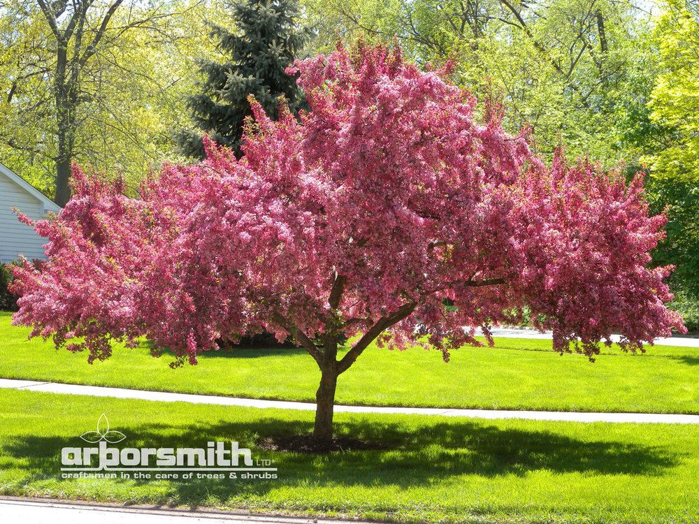 Tree of the month arborsmith ltd crafstman in the care of trees crab trees are to the chicago area what southern magnolias are to the state of georgia one of our most ubiquitous flowering trees mightylinksfo