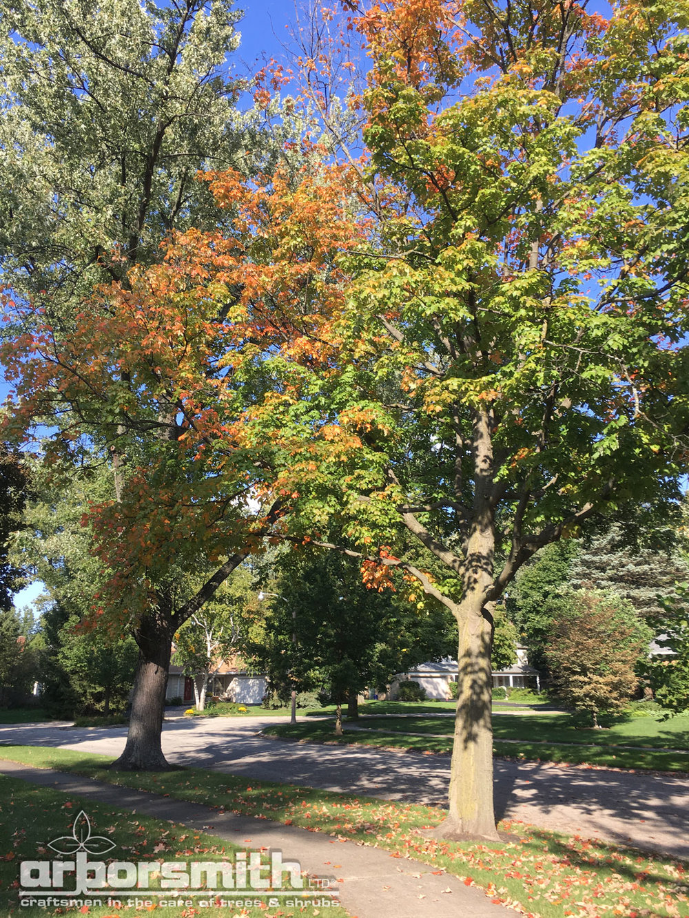 Early fall color on stressed trees;  photos by Lesley Bruce Smith