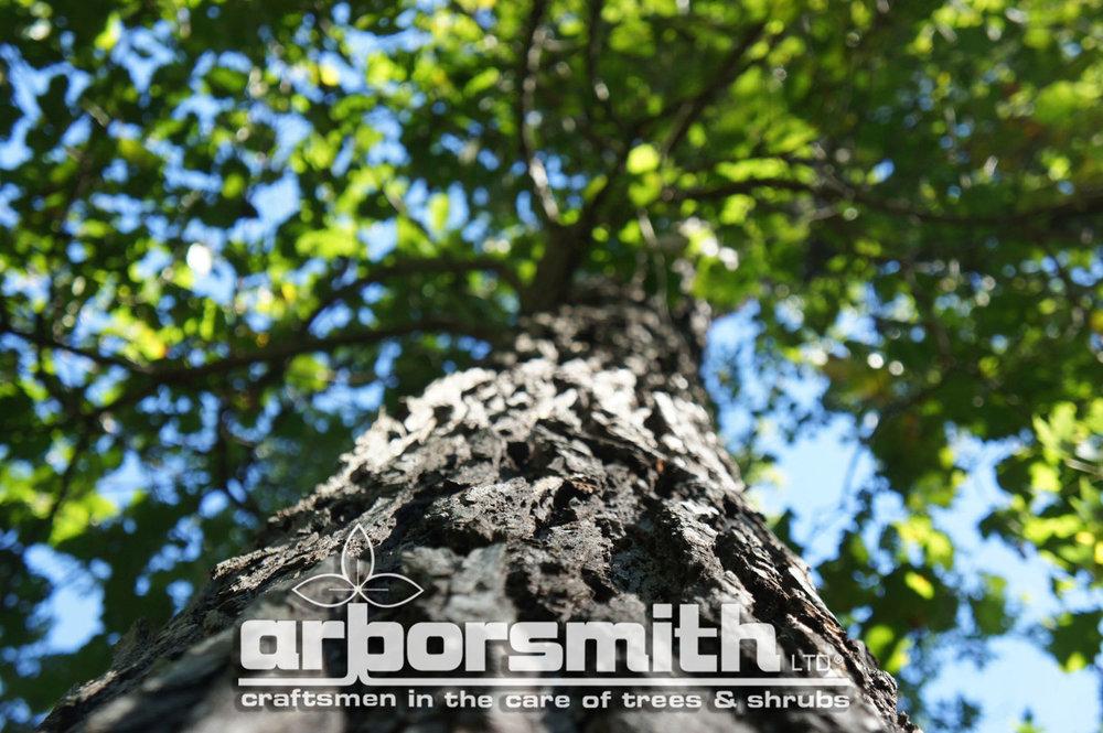 Distinctive Burr Oak Bark