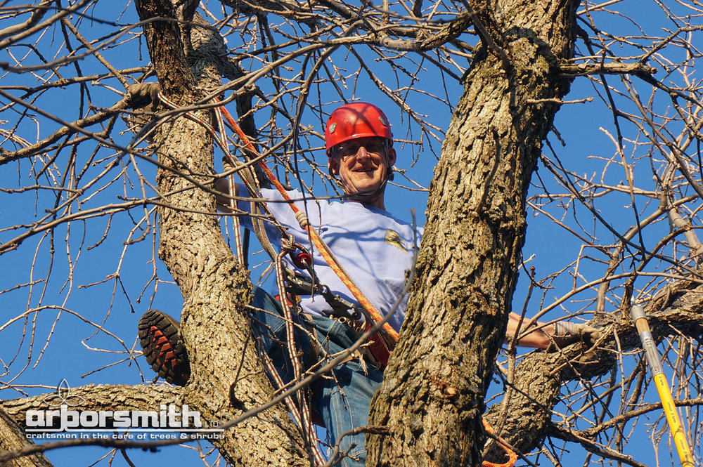 Gilbert A Smith, ISA Board Certified Master Arborist climbing and trimming a Maple tree.