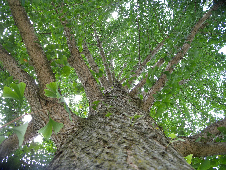 Ginkgo Biloba Arborsmith Ltd Crafstman In The Care Of Trees