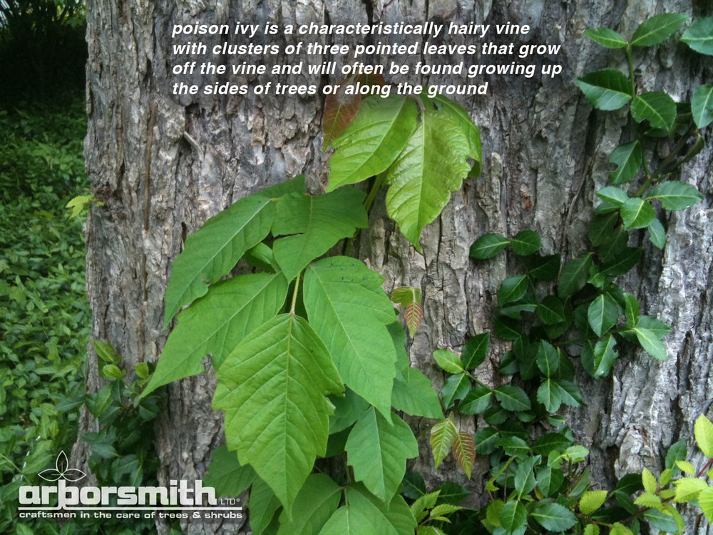 Poison-Ivy-with-caption.jpg