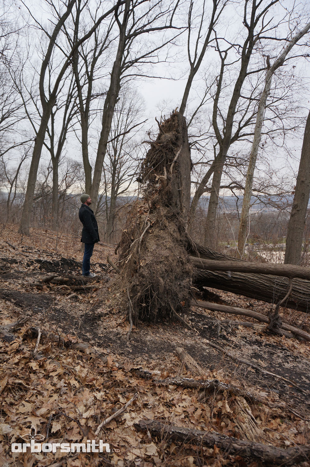 Tree roots are close to the surface as illustrated here by this fallen 80' Red Oak whose roots form a pancake. They stay near the air so they can breathe.
