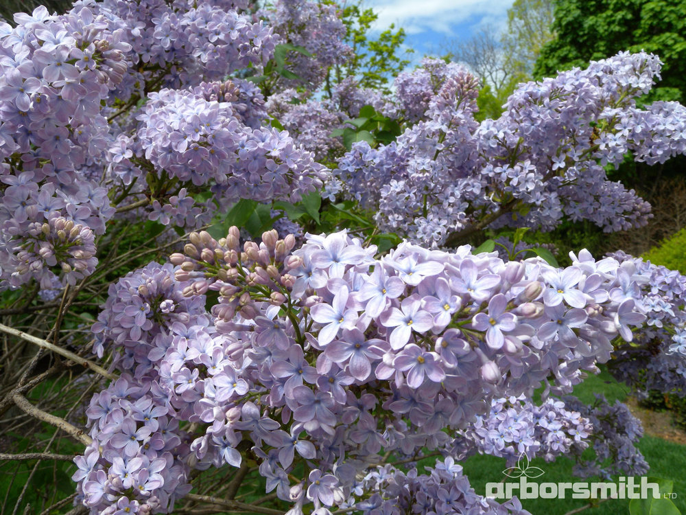 French Hybrid Lilac in all its spring glory.  Photos by Lesley Bruce Smith