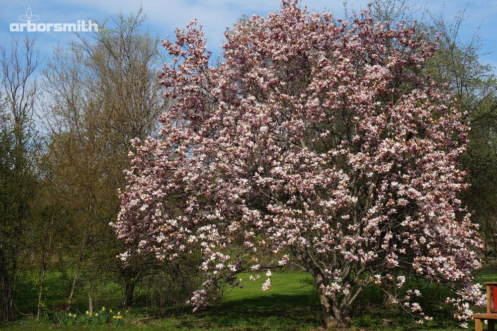 Saucer Magnolia at the peak of spring flowering