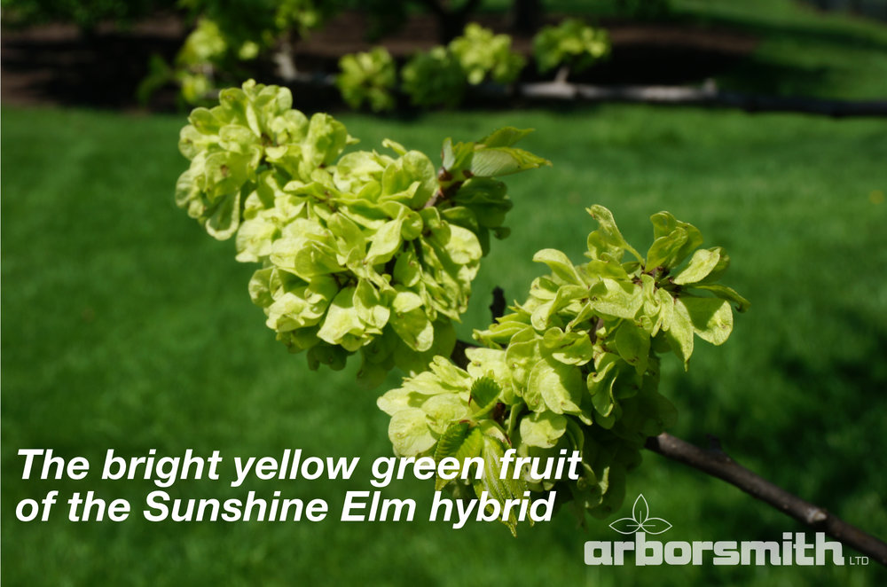 The bright yellow green fruit of the Sunshine Elm hybrid