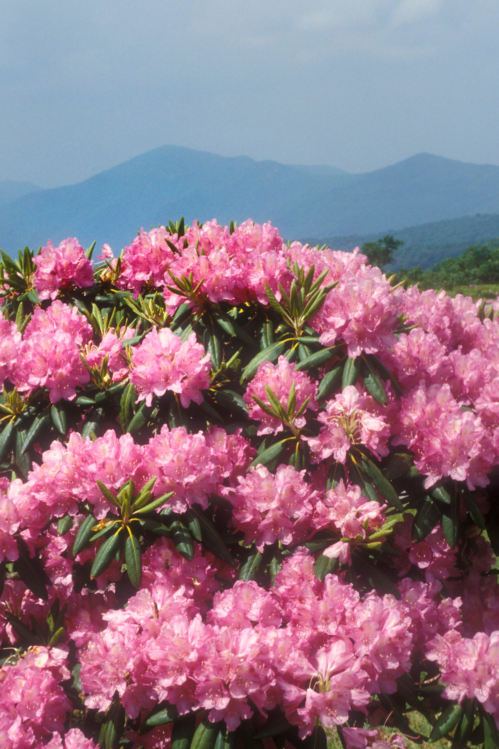 Catawba Rhododendron with mountains #1.jpg