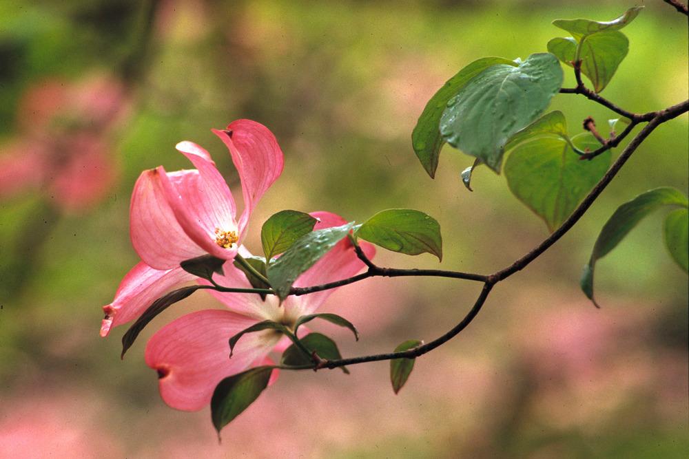 Dogwood blossom.jpg