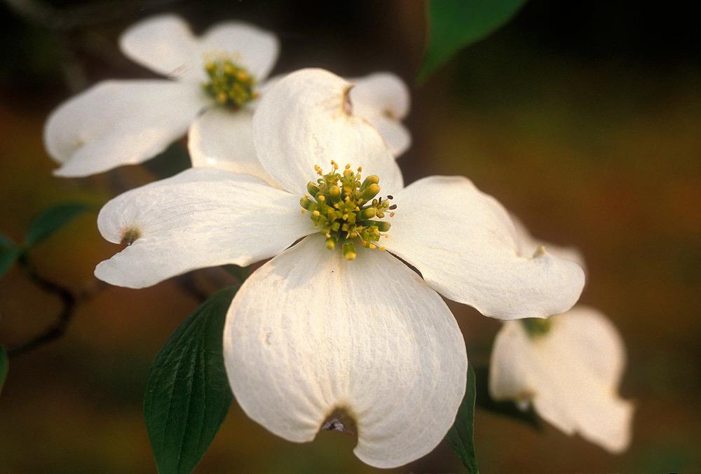 Dowood white blossom 1.jpg