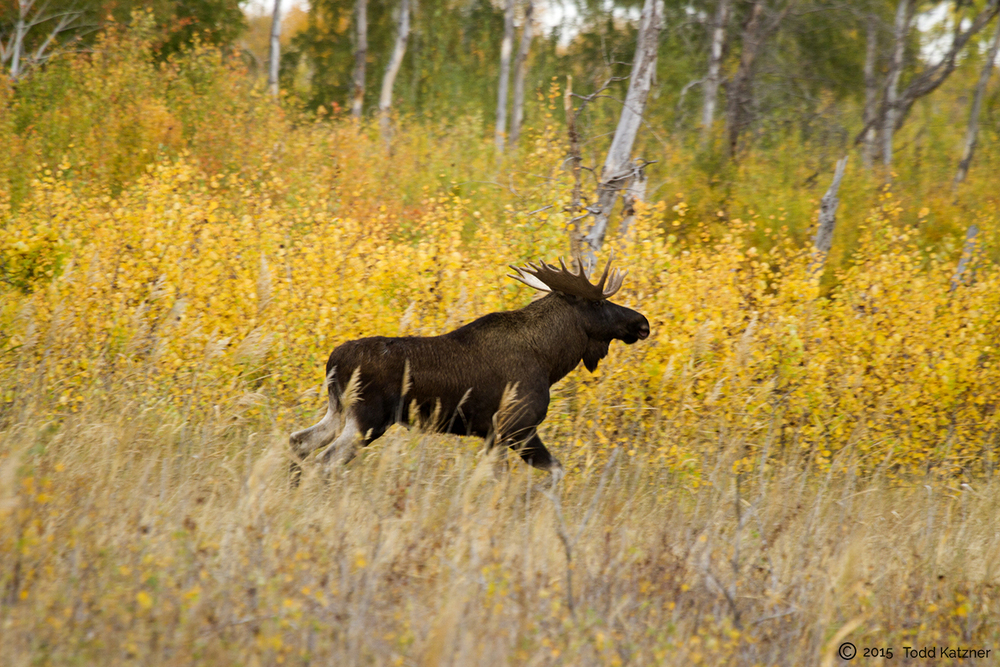 Moose at Narzum