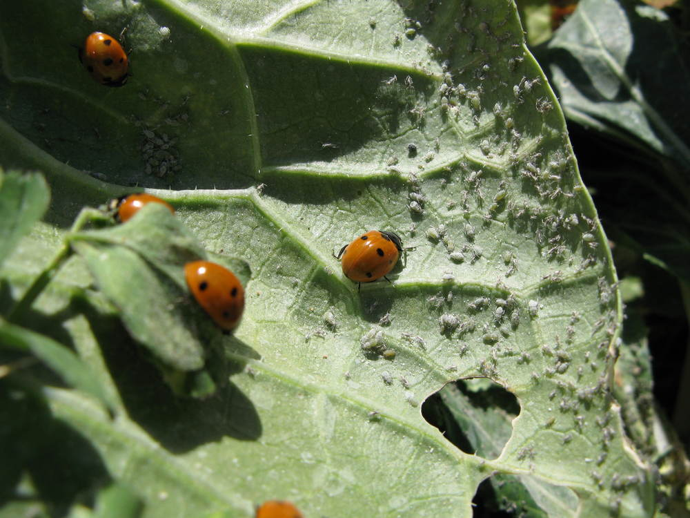 Ladybugs are a beneficial insect that feed on aphids in the garden.