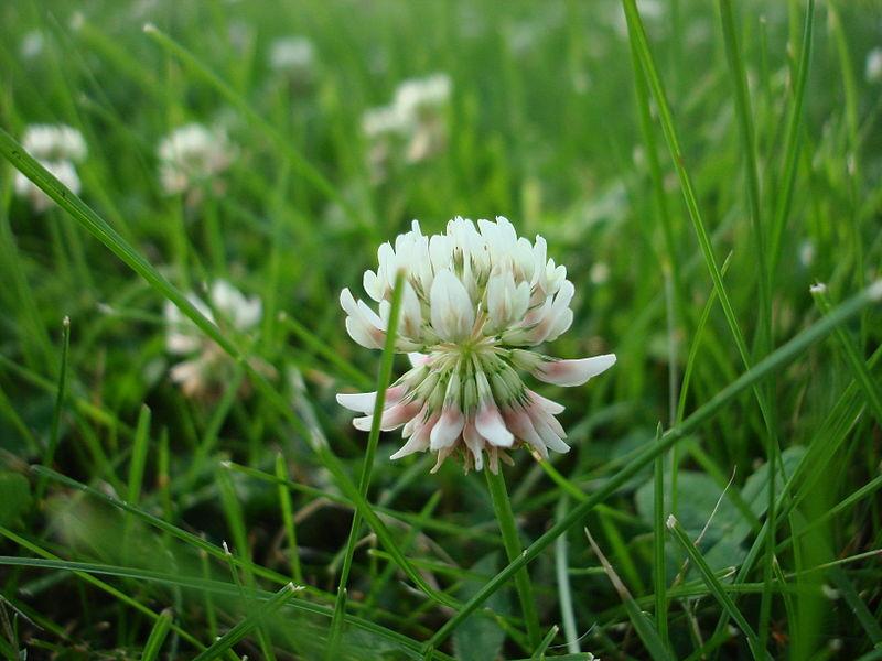 Trifolium_repens_macro