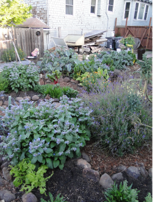 Borage, lavender, calendula, chard, and so much more in the garden!