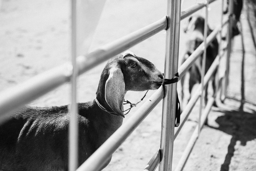 close-up-shot-of-goat-at-legacy-days-rodeo-heber-ut