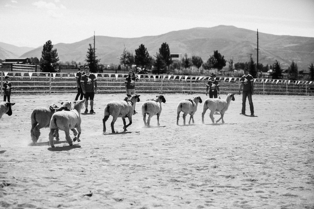 sheep-at-rodeo-arena-legacy-ranch-heber-utah