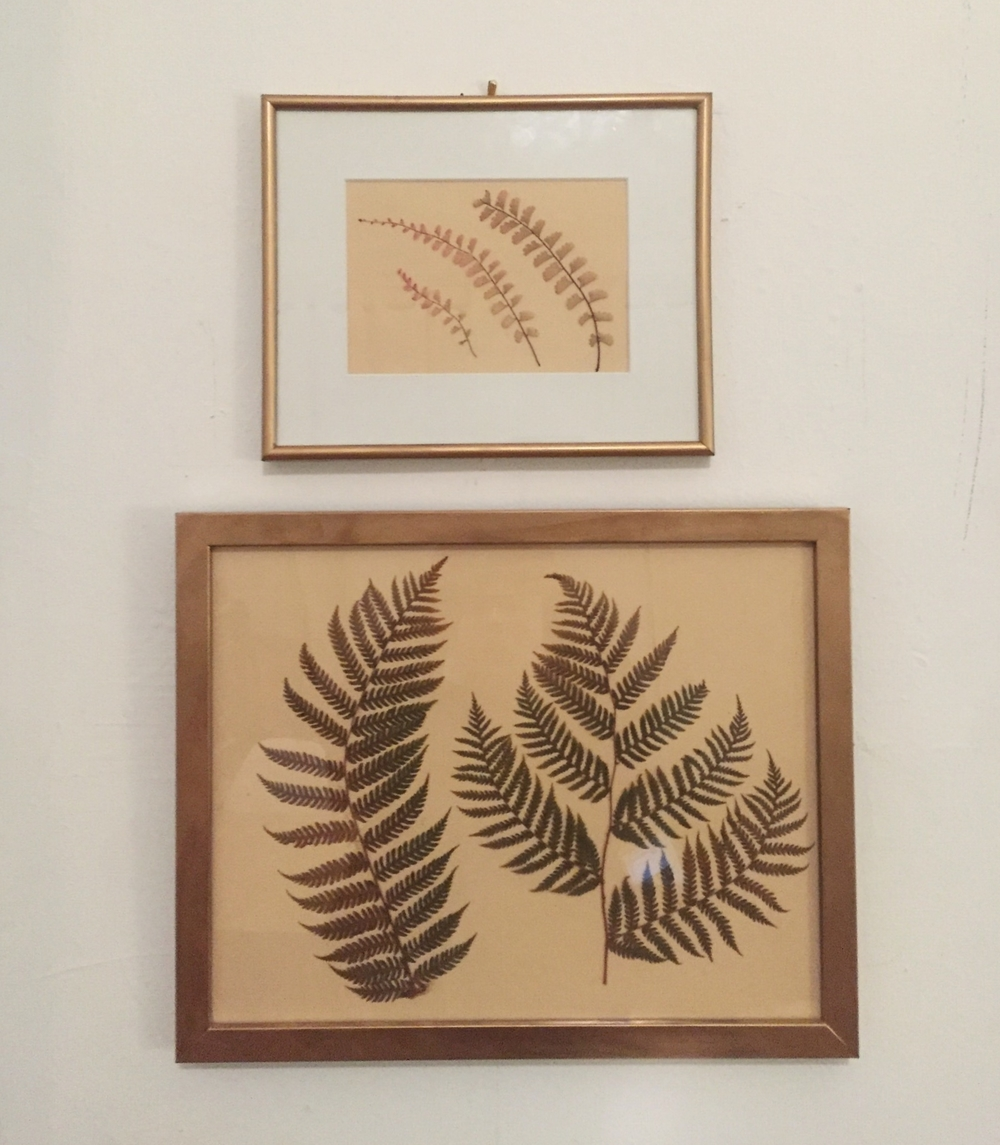 Picked, pressed, and framed California ferns