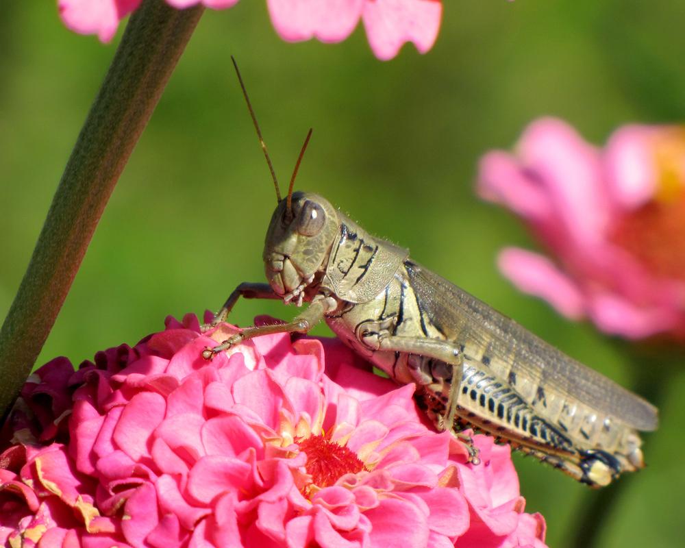 Grasshopper Under Zinnia Shade