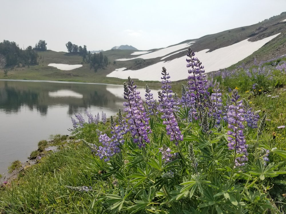 Lupine at Jewett Lake.