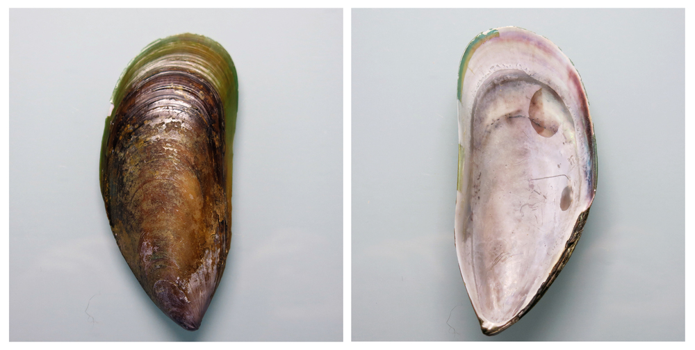 Found Object #1 – Green Lipped Mussel